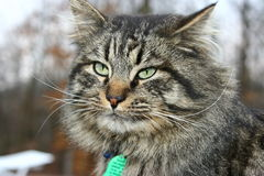 Big tom cat. Big siberien brown tabby cat with beautiful eyes Royalty Free Stock Photography