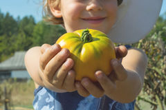 Big tomato. Beautiful child keeps a yellow tomato in hands Royalty Free Stock Image