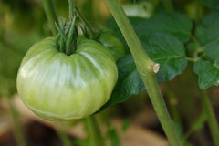 Big tomato hanging on branch. Natural light and  green background of leafs Royalty Free Stock Image