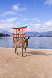 A big Torii gate and deer at Miyajima, Japan Stock Photography
