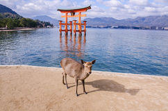 A big Torii gate and deer at Miyajima, Japan Royalty Free Stock Images