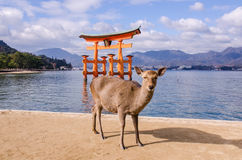 A big Torii gate and deer at Miyajima, Japan Stock Photos