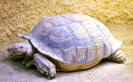 A big tortoise. A slow-moving big tortoise crawling and looking at you Royalty Free Stock Image