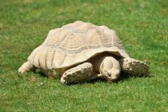 Big tortoise eating grass. Grey tortoise on the grass. Green background Royalty Free Stock Images