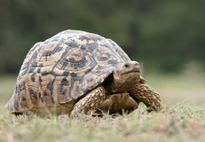 Big Tortoise Stock Images