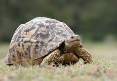 Big Tortoise. Big leopard tortoise in the Lake Manyara National Park stock images