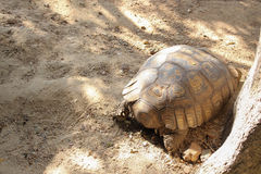 Big tortoise walk on park Royalty Free Stock Photo