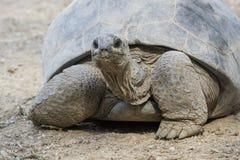 Big tortoise Stock Image