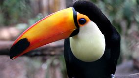 Big Toucan stock video footage
