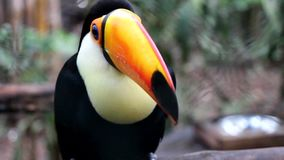 Big Toucan. An Big Toucan standing on a branch, looks around