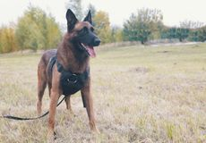 Big trained german shepherd dog on a leash standing on a field stock photo