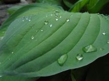 Big transparent raindrops on the green leaves of the host royalty free stock photography