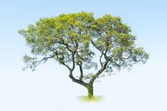 Free Big Tree  Royalty Free Stock Photography - 100091017