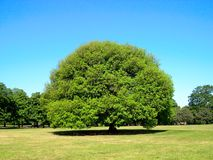 Big Tree. A tree in Greenwich, London (UK Stock Photography