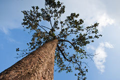 Big tree. On top mountain viewpoint in Thailand national park image Stock Image