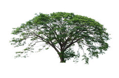 Big tree. Isolate on white royalty free stock photo