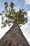 Big tree. In looking up angle Stock Images