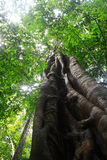 Big Tree. Big Tree in the forest at Thailand Royalty Free Stock Photos