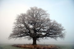 Large tree. Old beautiful oak in cold winter fog in norway Stock Photography