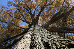 Big Tree. Big old oak tree in fall Stock Photo