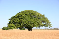 Big tree. Tree in the summer Stock Photos