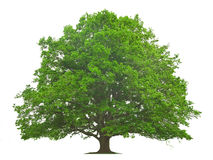 Big Tree Stock Image