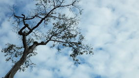 Big tree against the blue sky. Clouds moving fast stock video footage