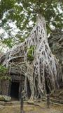 Big tree on ancient Angkor ruin Temple - Siem Reap, Cambodia Royalty Free Stock Photo