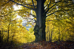 Big tree in autumn. Big tree shot in the forrest of eglofstein in germany Royalty Free Stock Photo