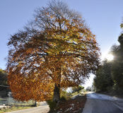 Big tree in autumn Stock Photo