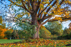 Big tree in the autumn Stock Images