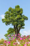 Big tree on a background of the blue sky with tiny cloud and flo Royalty Free Stock Images