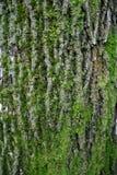 Big tree bark Royalty Free Stock Photo