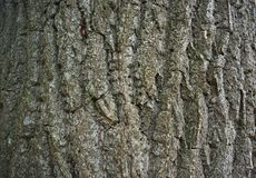 Big tree bark, close up view royalty free stock photos