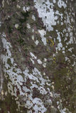 Big tree bark Royalty Free Stock Image