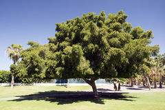 Big tree. Beautiful big tree in a park in Spain royalty free stock photos