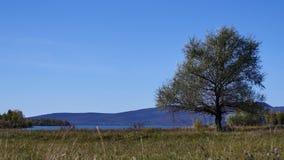 Big Tree stock footage