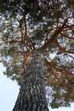 Big Tree From Below Royalty Free Stock Photos