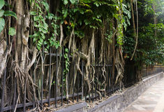 A Big tree with big and long roots beside sidewalk at kebun raya bogor indonesia Royalty Free Stock Image