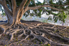 Big tree with big root. Big tree and big root with mountain background royalty free stock photo