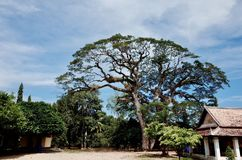 Big tree. In the temple Stock Images