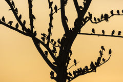 Big tree with birds silhouette sunrise red sky background at Uda Royalty Free Stock Image