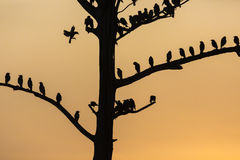 Big tree with birds silhouette sunrise red sky background at Uda Royalty Free Stock Photos