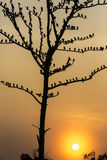 Big tree with birds silhouette sunrise red sky background at Uda Stock Photos