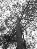 Big tree. Black and white big tree Stock Image