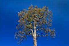 Big tree on blue sky Royalty Free Stock Image