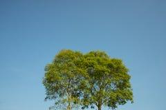 Big tree with blue sky background. Stock Photo