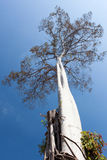 Big tree on blue sky background. Old big rubber tree on blue color sky background Royalty Free Stock Photo