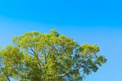 Big tree with blue sky. Green big tree with blue sky royalty free stock images