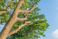 big tree and blue sky Royalty Free Stock Photo